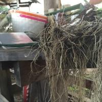 ひげ根付き泥付き・・・ネギの販売・・・・