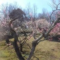 富士市の『岩本山公園』で 梅見