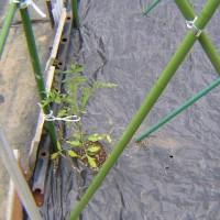 とまと栽培2017年品種、桃太郎ファイト中玉フルティカを植付したツワブキを収穫した