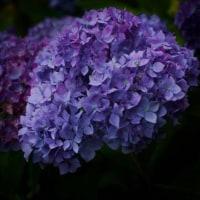 紫陽花を観てきました