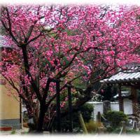 早春に愛らしい紅花をつける…(^^♪樹齢300年の古木 高槻 「乾性寺(けんしょうじ)の梅の花」