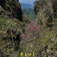 2017/05/23 稲村ヶ岳1725m オオミネコザクラ再び