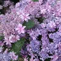 梅雨です。紫陽花です。(*ˊᵕˋ*)
