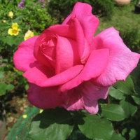 きれいなバラが咲きました