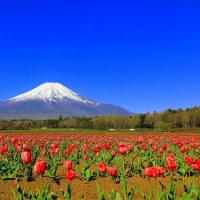 富士山と花の都公園のチューリップ