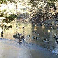凍った池・オカメナンテン