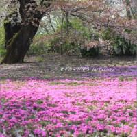 桜と芝桜のある風景