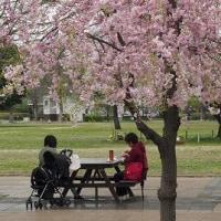 都立武蔵国分寺公園の桜 2