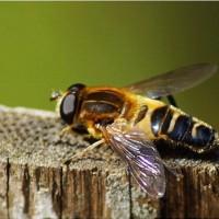 小さな昆虫たち(姫浄海、瑠璃葉虫、脚太花虻、並星平田虻、姫腹長土蜂)