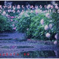 紫陽花シリーズ3