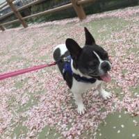 桜散らしの嵐
