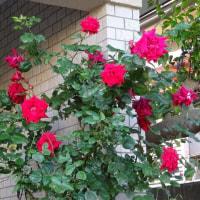 お隣さんのお花
