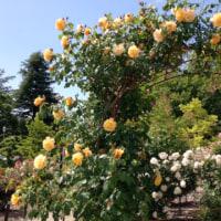 安曇野の宿から・香り高い薔薇