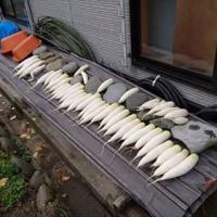 ダイコン収穫