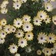 オステオスペルマム(黄色)さし芽