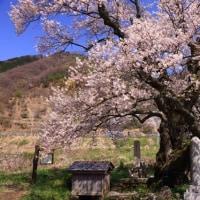 清水の桜と佐波寺