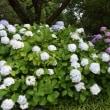 四季折々807  相模原北公園の紫陽花2
