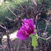 四季咲き牡丹と(≧∇≦)
