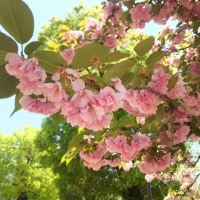 八重桜、今まさに満開!