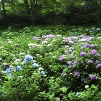 神戸市立森林植物園の紫陽花 2016.06.22