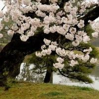 0147 桜