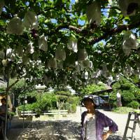 ふーさんご夫妻と鷲宮の葡萄園に行きました(´∀`*)たくさんの葡萄 今食べ頃ですね!
