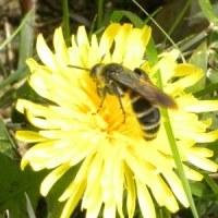 ヒメハラナガツチバチに近づいて
