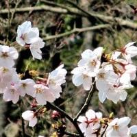 「今年はじめてのソメイヨシノの花の写真」