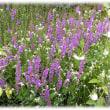 お盆の花(^^♪ボンバナ、ショウリョウバナ(精霊花)と言われる、きれいな赤紫の小さな花がいっぱい「ミソハギ」
