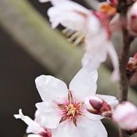 アーモンド、開花*