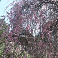 初春の丹沢;勝楽寺・八菅山神社・鳶尾山を一廻り