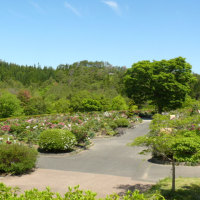 一関市「花と泉の公園・ぼたん園」の牡丹・玉芙蓉 2017年5月18日(木)