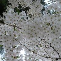桜 満開です 17