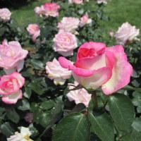 埼玉県伊奈町のバラ祭り