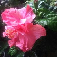 ハンカチの花の真っ白なガクと夢中で蜜を吸おうとしているクロアゲハ