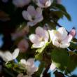 りんごの花?