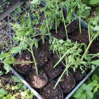 トマトの腋芽を挿し木して、クローン苗増殖中。。。