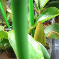ネペンテス栽培記 309 ネペンテスの生長について 1