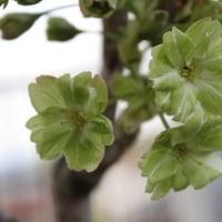 緑の桜(御衣黄桜)が咲いた!