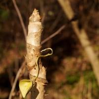 冬芽 タラノキ