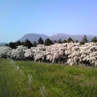 前橋は今花見ピーク,来週は葉桜かなあ?