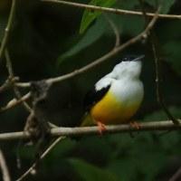 ムナジロマイコドリ♂
