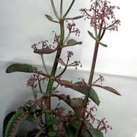 子宝草の花