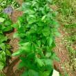 6月11日(火)なずな菜園 ジャガイモとキャベツの収穫