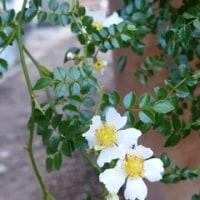 梅雨に咲くテリハ