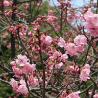 上野公園の桜(2017・3・25)]
