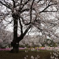 お花見散歩@東武トレジャーガーデン