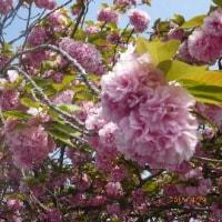 今年の八重桜