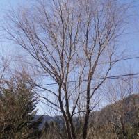柳の木を切ったりした話