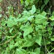飯岡海岸の植物 2017.7.2分